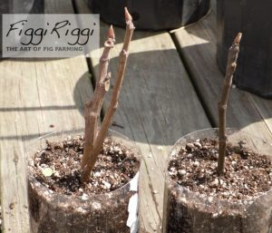 fig tree cuttings taking root