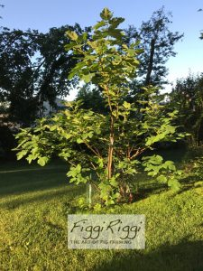 Fig tree on a mid-Summer morning