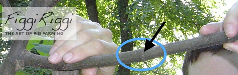 Black arrow points to where roots will grow from branch