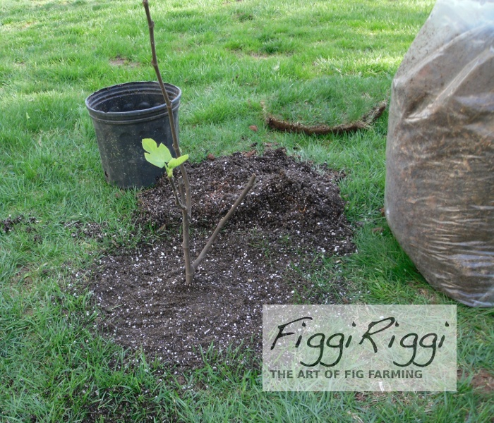 Lost figs transplanted tree