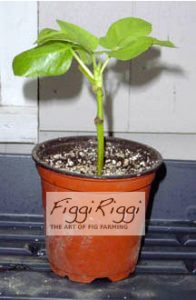 Rooting Fig Tree Success