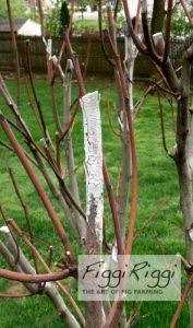 White wash on winter damaged wood
