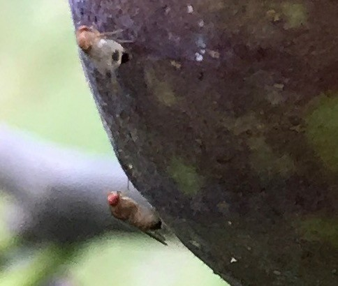 Fruit flies on a fig