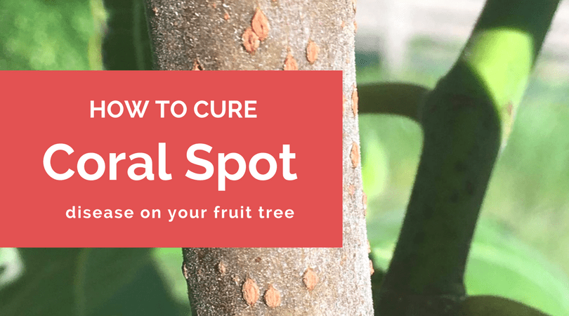 How to cure coral spot disease on your fruit tree