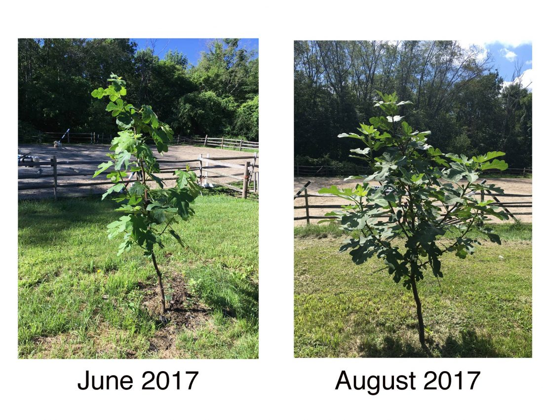 black mission fig tree health comparison