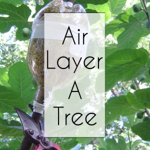 Air Layer A Fig Tree button