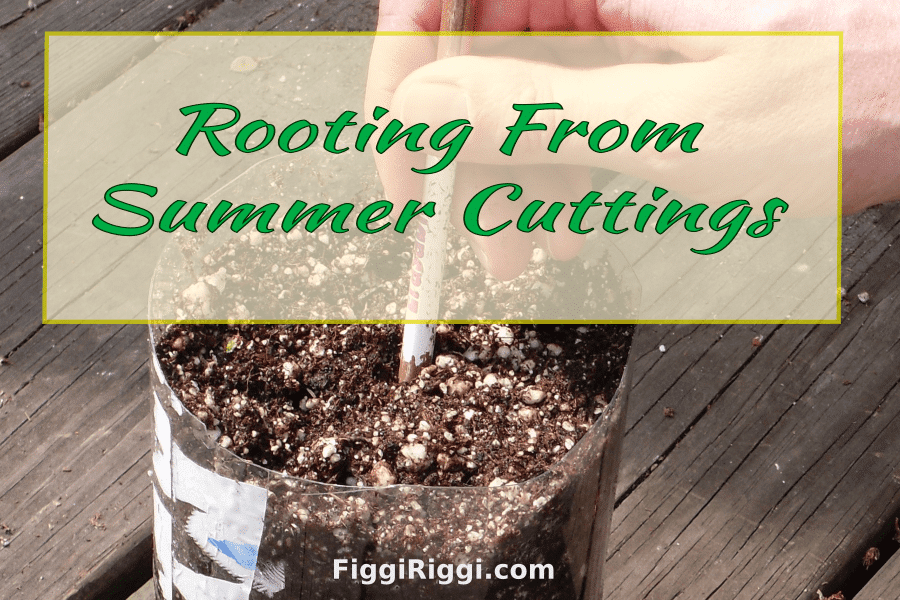 a photo of rooting from summer cuttings featured image