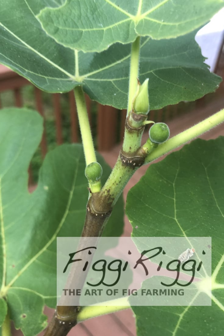 a photo of figs on a potted fig tree