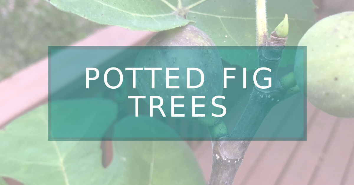 a title photo of potted fig trees